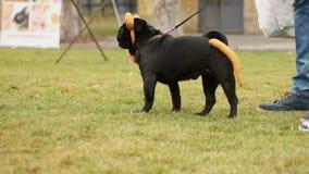 Man walking black pug on leash, cute dog in funny accessories looking around