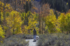 Man walking Dog. Surrounded by yellow Aspen trees Stock Photo