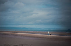 Man walking the dog on the beach Royalty Free Stock Images