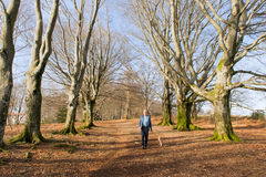 Man walking dog between beech trees in winter Royalty Free Stock Images