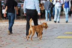 Man walking a dog in the city. Man walking his dog in the autumnal city Stock Photography