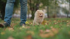 Man walking with dog stock footage
