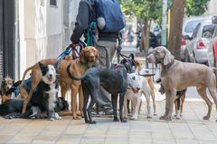 Urban Dog Walker. Man Walking dogs in Buenos Aires Royalty Free Stock Photo