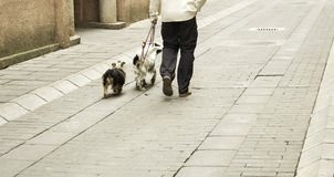 Man walking dogs. On the street, people and animals Stock Photo