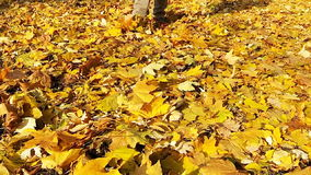 Man walking on the fallen yellow leaves. stock footage