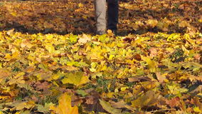 Man walking on the fallen yellow leaves. stock video footage