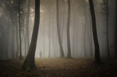 Man walking in a forest with fog under huge trees Stock Photography