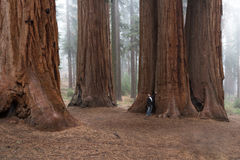 Man walking in a giant forest Stock Photo