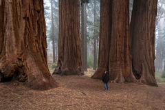 Man walking in a giant forest Stock Images
