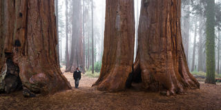 Man walking in a giant forest royalty free stock image