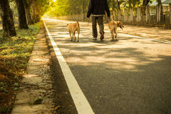Man walking his two dogs in evening Stock Photography
