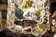 Man walking with huskies dog in canyon near water. Copy space Stock Images