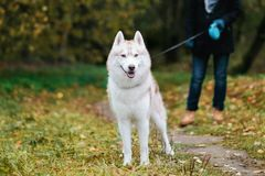 Man walking with a dog Husky. Man walking with husky. Dog standing with leash on autumnal path Stock Photography