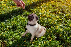 Man walking pug dog in spring forest and holds food in hand. Happy puppy sitting among yellow flowers waiting for orders. Of its master stock photos