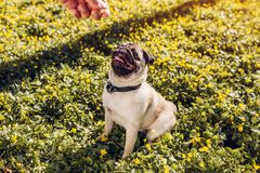 Man walking pug dog in spring forest and holds food in hand. Happy puppy sitting among yellow flowers waiting for orders. Of its master royalty free stock image