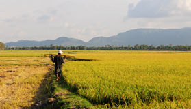 A man walking on the rice field in Hoian, Vietnam Royalty Free Stock Photos