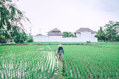 Man Walking on Rice Grain Field Stock Photography