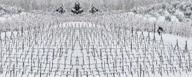 Man walking among rows of vines in the snow. Panoramic view Royalty Free Stock Photo