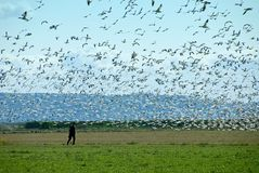 Man Walking With Snow Geese Stock Photography