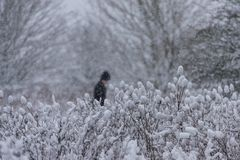 Man walking in the snowstorm in the forest. Man walking in the snowstorm in the forest Royalty Free Stock Photo