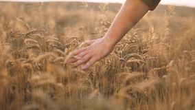 Man Walking and Touching Wheat stock video