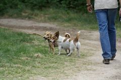 Man walking two dogs. Man walking two small dogs both holding the same stick royalty free stock photo
