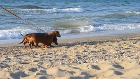 A man walking with two dogs on the beach. A man walks along the beach with two dogs of breed dachshund stock footage