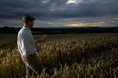 Man walking through wheat field Stock Photos