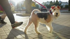 A man walks around the city with his dog on a leash. A young man walks down the street with his attractive dog Terrier on a red leash. The dog playfully runs and stock video footage