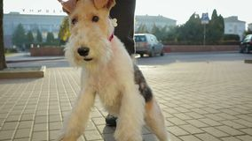 A man walks around the city with his dog on a leash. A young man walks down the street with his attractive dog Terrier on a red leash. The dog playfully runs and stock video