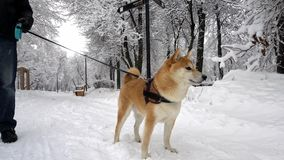 Beautiful, well-groomed dog breed Shiba Inu funny looks around. Winter. Snowing stock video