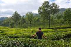Man walks through tea plantations in the mountains of the bride in green tea and admires royalty free stock image