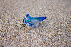 Man-Of-War on the sand Royalty Free Stock Photography