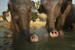 A man washes his two elephants on Ko Chang island Royalty Free Stock Photos