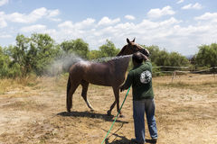 Man washes horse before the competition matches riding round obs Royalty Free Stock Images
