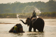 Man washing his elephant on the banks of river in Chitwan park in Nepal. Stock Image