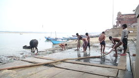 Man washing with water from hose, with boys and cows aside by Ganges river. stock video