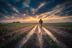 Man watching sunrise in tulip field Stock Images