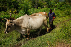 Man with water buffalo, Navala village, Viti Levu, Fiji Royalty Free Stock Image
