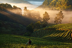 Man watering strawberry field with mist morning sunrise at Doi A Stock Photo