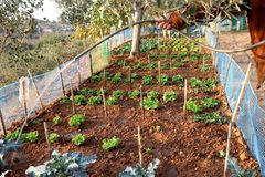 Man waters lettuce growing in garden in autumn. royalty free stock photo