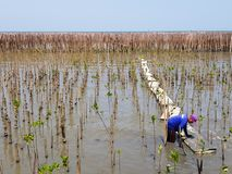 Man wearing blue long sleeve shirt and cleaning white floating walk at mangrove forest stock images