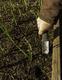 Man Weeding Garlic Growing in a Raised Bed Stock Images