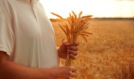 Man with wheat ears on background of field royalty free stock photo