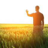 Man in wheat field and sunlight royalty free stock photo