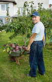 Man with a wheelbarrow red beets in his garden Stock Image