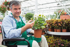 Man in a wheelchair holding a flower pot in a greenhouse Royalty Free Stock Photo