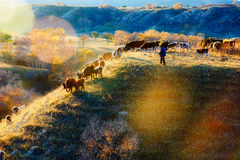 The man who looking after cows on the hill sunset Royalty Free Stock Image