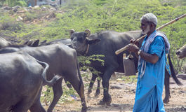 Man With Herd Of Buffaloes Stock Photo