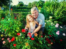 Man witn child caring for roses in the garden stock photography